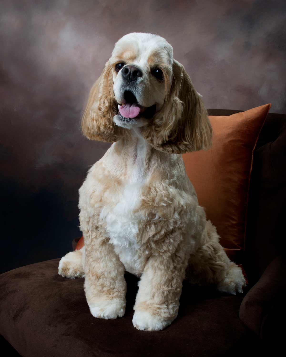 Cocker Spaniel Pet Photo